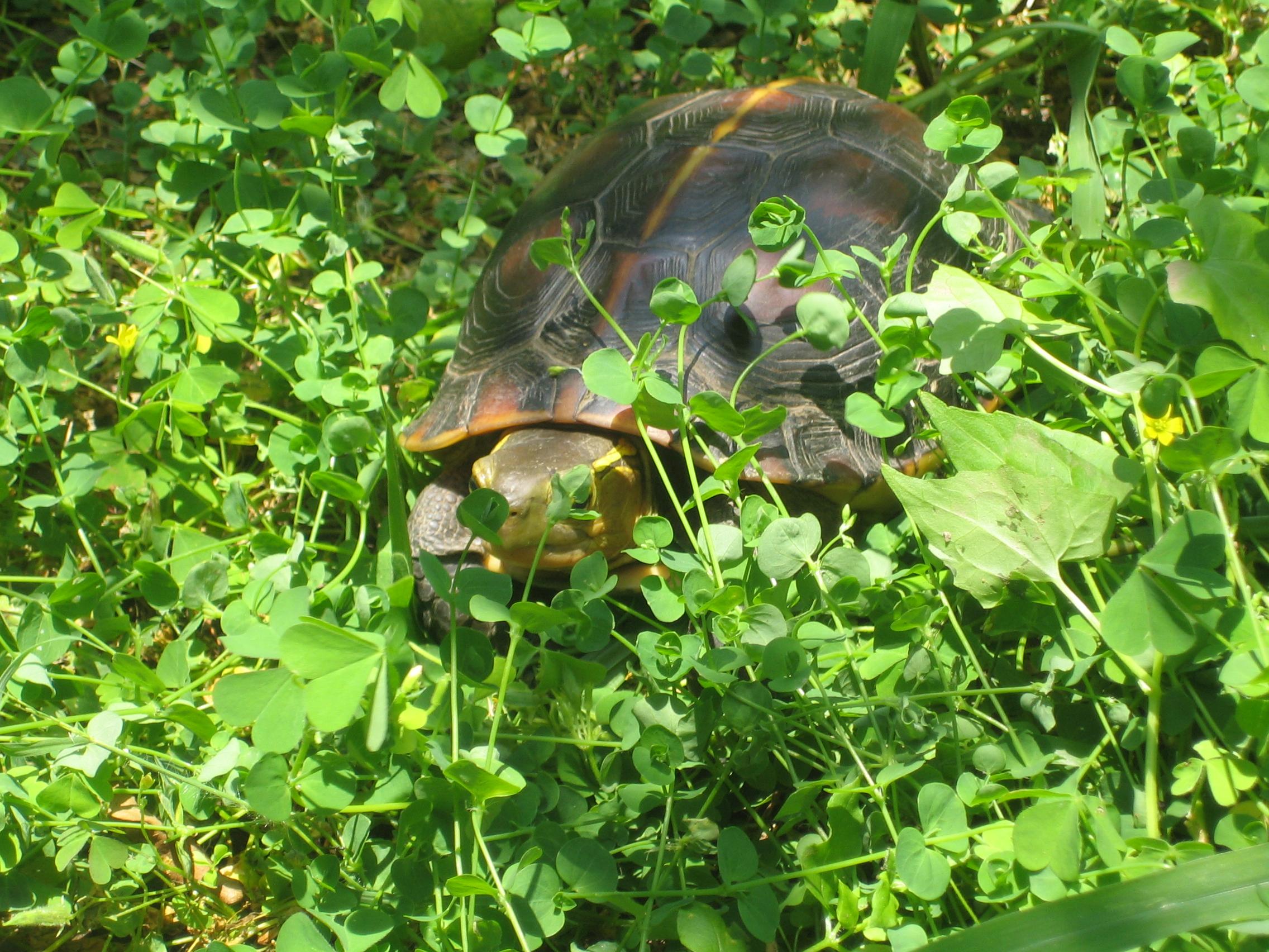 動作敏捷穿梭在樹葉中(食蛇龜)1