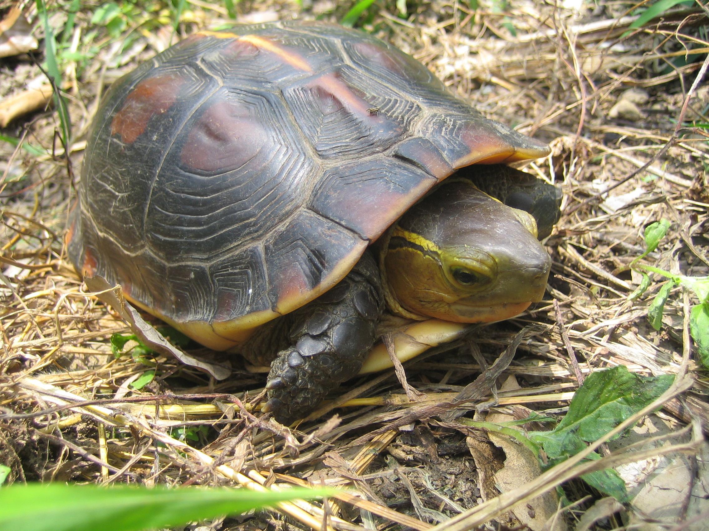 動作敏捷穿梭在樹葉中(食蛇龜)4