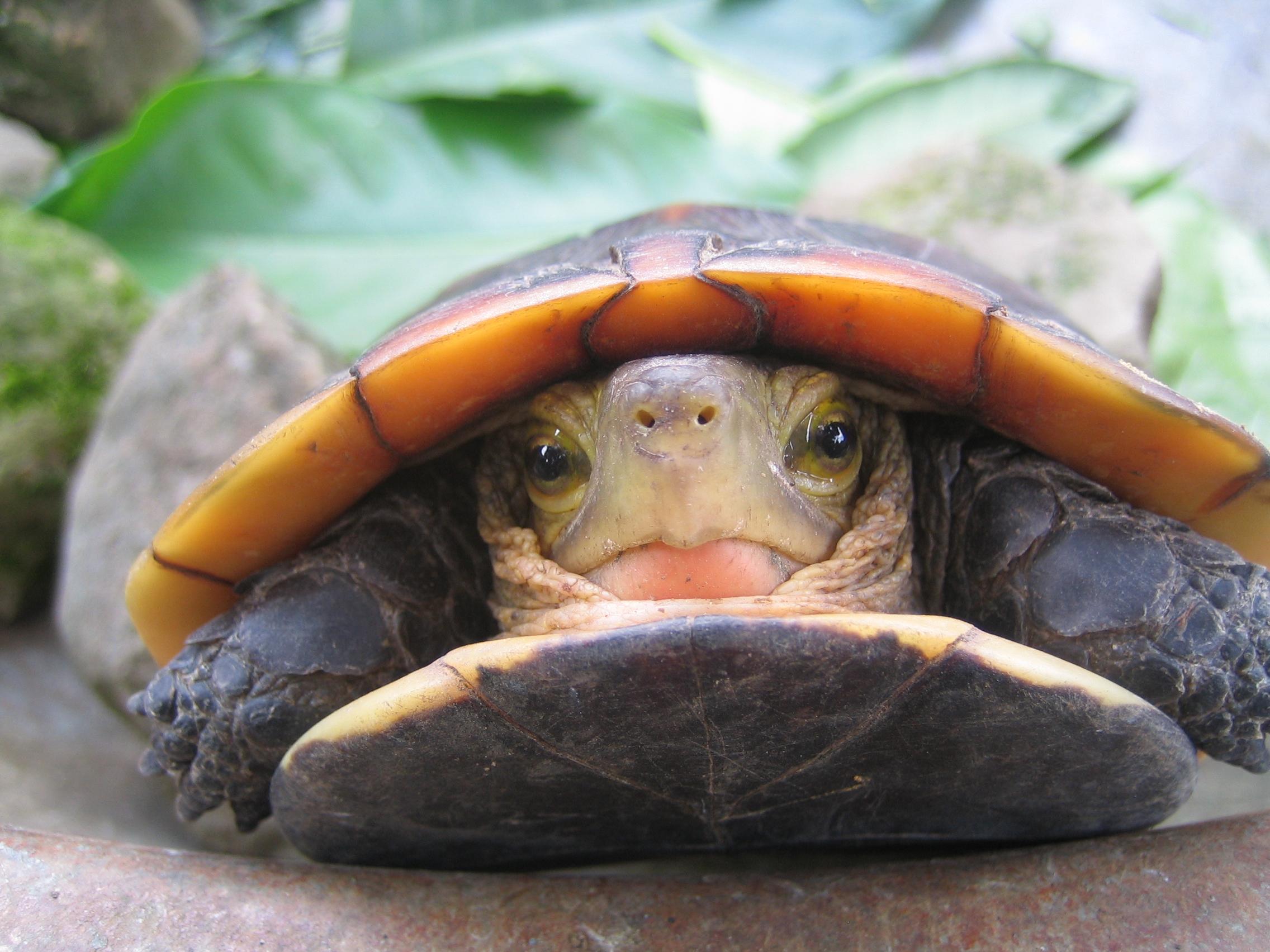 模樣惹人喜愛(食蛇龜)